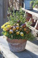 Viola cornuta 'Apricot' (Hornveilchen), Oregano (Origanum), Primula elatior