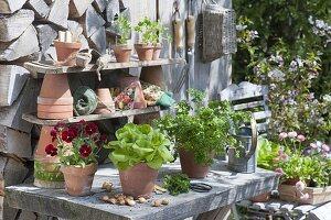 Pflanztisch mit Viola cornuta 'Red Blotch' (Hornveilchen), Salat