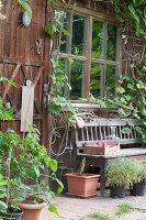 Holzbank am Gartenhaus, Weinrebe (Vitis vinifera)