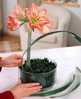 Amaryllisblüte wird in eine Schale mit Schachtelhalm gesteckt