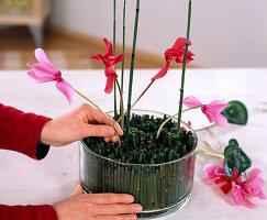 Cyclamenblüten in Schale mit Ackerschachtelhalm stecken