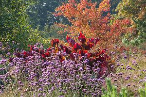 Pfaffenhütchen 'Red Cascade' (Euonymus), Judasbaum 'Forest Pansy' (Cercis) und Eisenkraut (Verbena bonariensis) im Herbst-Garten