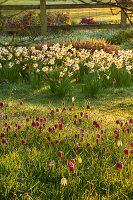 Zwiebelblumen-Wiese, Narzissen (Narcissus) und Schachblume, Schachbrettblume (Fritillaria meleagris)