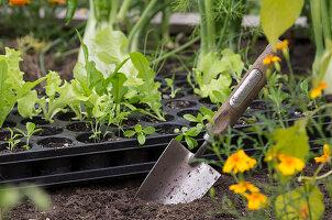 Anzuchtplatte mit Gemüse, daneben Pflanzschaufel