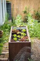 Hochbeet mit Salat und Auberginen bepflanzt