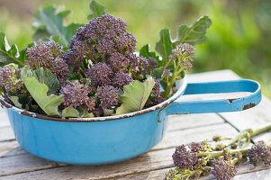 Frisch geernteter, violetter Sprossen-Brokkoli in einem Sieb