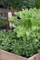 Pflücksalat und Babyspinat wachsen in Holzkiste