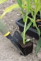 Zuckermais einpflanzen