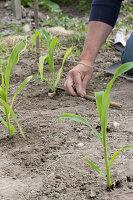 Zuckermais einpflanzen, Abstand einhalten