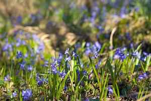 Blausternchen im Garten