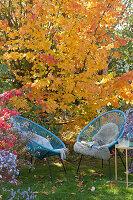 Moderne Sessel vor Eisenholzbaum in Herbstfärbung