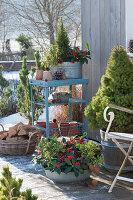 Winter - Terrasse mit Zuckerhutfichte, Skimmie und Wolfsmilch in Gefäßen