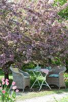Gedeckter Tisch unterm blühenden Zierapfelbaum 'Paul Hauber'