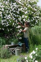 Frau schneidet Blüten von Rose 'Venusta Pendula'