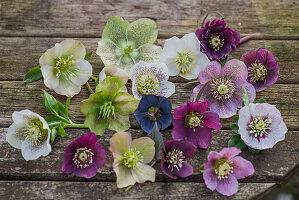 Lenzrosen - Blütentableau