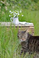 Sternmiere und Wolfsmilch in einem weißen Krug, davor Hauskatze