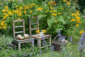 Echter Alant blühend im Beet, Stühle