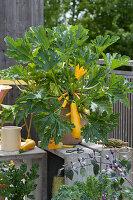 Gelbe Zucchini 'Soleil' im Topf