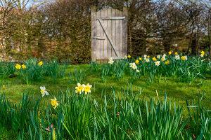 Blühende Narzissen im Rasen