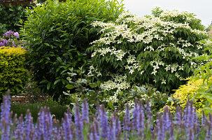Japanischer Blumenhartriegel