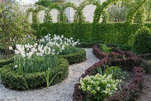 Knotengarten im Frühling mit Pfauenaugen-Narzissen und Lenzrose