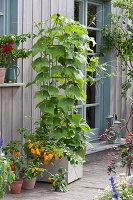 Chayote-Pflanze an Rankstele, Chili 'Frontera Sweet' mit gelben Früchten