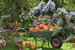 Schubkarre mit frisch geernteten Kürbissen, Korb mit Äpfeln