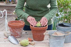 Chayote Frucht in Tontopf einpflanzen