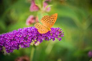 Kaisermantel auf Blüte von Sommerflieder