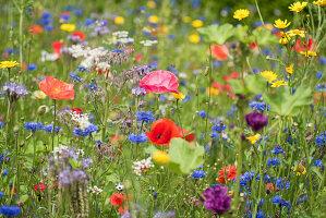 Blumenwiese mit Klatschmohn, Kornblumen, Borretsch, Wucherblumen und Büschelschön