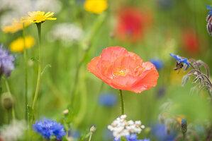 Blumenwiese mit Klatschmohn, Borretsch, Kornblumen und Wucherblume