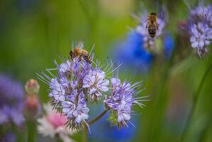 Honigbienen an Büschelschön