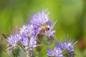 Honigbiene an Büschelschön