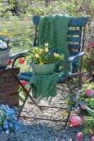 Wildtulpe und Traubenhyazinthe in Küchensieb gepflanzt auf Stuhl im Garten