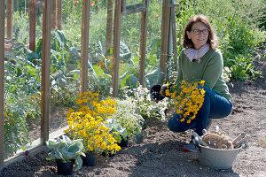 Frau stellt Pflanzen am Gewächshaus in Reihe um ein Beet anzulegen: Zauberschnee, Kreuzkraut 'Angel Wings' und Gewürz-Tagetes im Wechsel