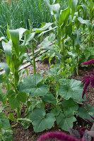 Klassische Gemüse-Kombination aus Mais, Bohnen und Kürbis
