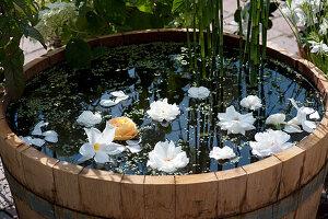 Wasserfaß mit schwimmenden Blüten von Rosen und Mandevilla, Wasserlinsen und Schachtelhalm