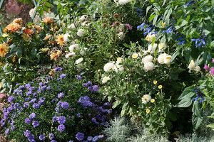 Herbstbeet mit Chrysantheme 'White Bouquet', Aster 'Sapphire', Dahlie und Ziersalbei Rockin