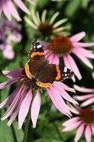 Schmetterling Admiral auf Blüte vom Scheinsonnenhut