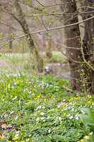 Buschwindröschen und Scharbockskraut im Frühlingswald