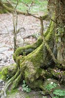 Die ersten Buschwindröschen im Laubwald