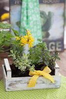 Kleine Holzkiste mit Kräutern und gelber Schleife: Minze, Apfelminze, Petersilie und Rosmarin