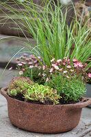 Rostiger Topf mit Moossteinbrech, Gras, Mauerpfeffer und Hauswurz