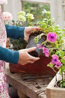 Balkonblumen aus den Plastiktöpfen nehmen