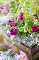 Rote Petunie mit gefüllten Blüten
