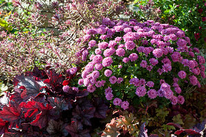 Herbstbeet mit Chrysantheme, Purpurglöckchen und Strauchveronika Magicolors 'Heartbreaker'