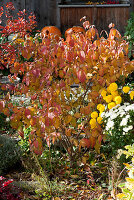 Herbstbeet mit Schneeball und Chrysanthemen