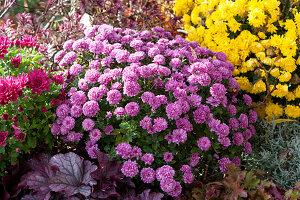 Herbstbeet mit Chrysanthemen und Purpurglöckchen