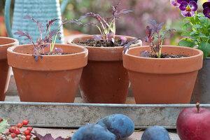 Jungpflanzen von Asiasalat 'Agano', auch rote wilde Rauke genannt, in Tontöpfen