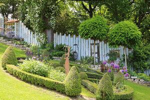 Hanggarten mit Ramblerrose 'Lykkefund' an Baum, Kugelrobinien-Stämmchen, Beet mit Buchshecke und Zaun als Sichtschutz